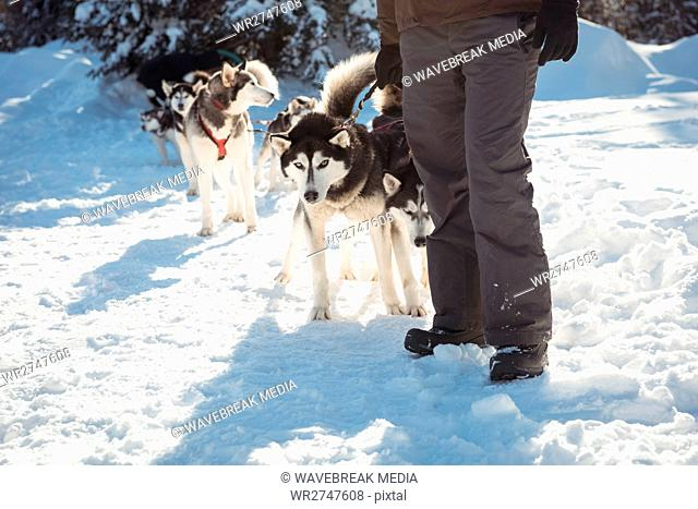 Mid section of musher standing with husky dogs