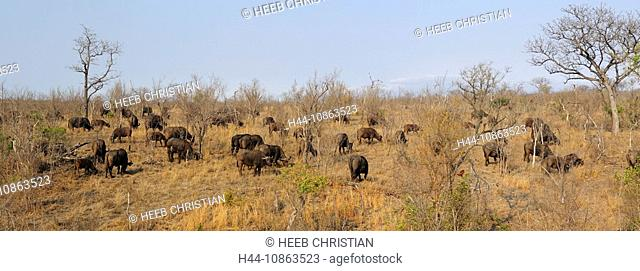 African Buffalo, Syncerus caffer, Ulusaba Sir Richard Branson's Private Game Reserve, Sabi Sands Game Reserve, Mpumalanga, South Africa, buffaloes, herd
