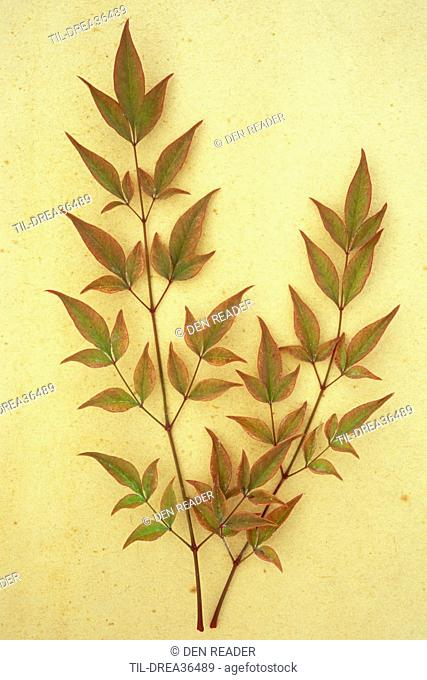 Two sprays of red leaves tinged with green of evergreen shrub Heavenly bamboo or Nandina domestica lying on antique paper