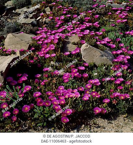 Pigface, ice plant or Hottentot plant (Carpobrotus acinaciformis), Aizoaceae, Caprera island, Sardina, Italy