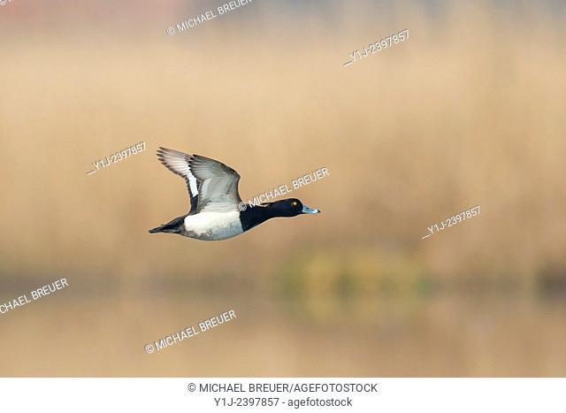 Tufted duck, Aythya fuligula, Male, Hesse, Germany, Europe
