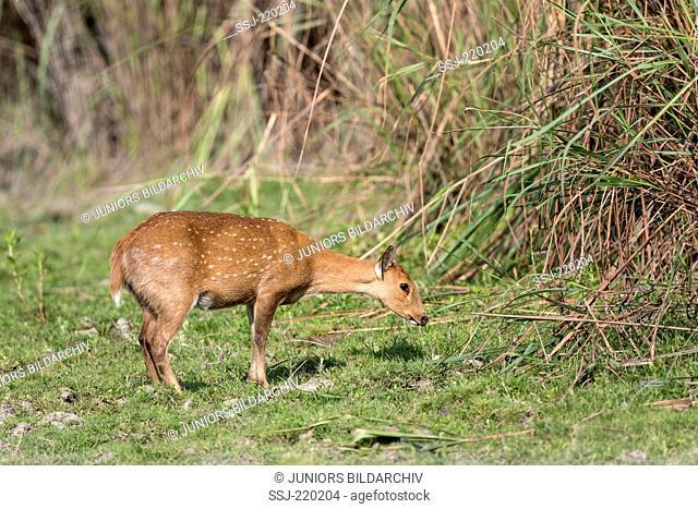 Hog Deer (Axis porcinus, Cervus porcinus), hind in front of bamboo, Kaziranga-Nationalpark, Assam