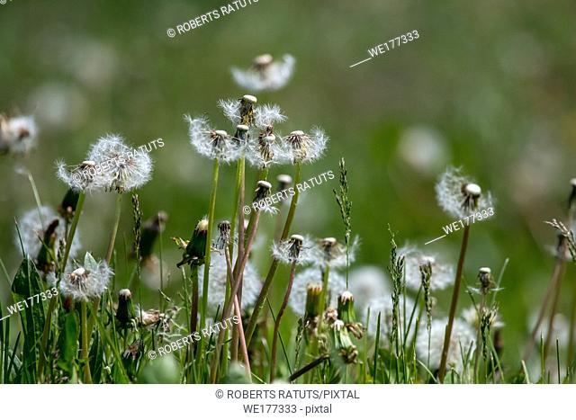 Beautiful white dandelion flowers in green grass. Meadow with dandelion flowers. Field flowers. Deflorate dandelions. Nature field flowers in meadow