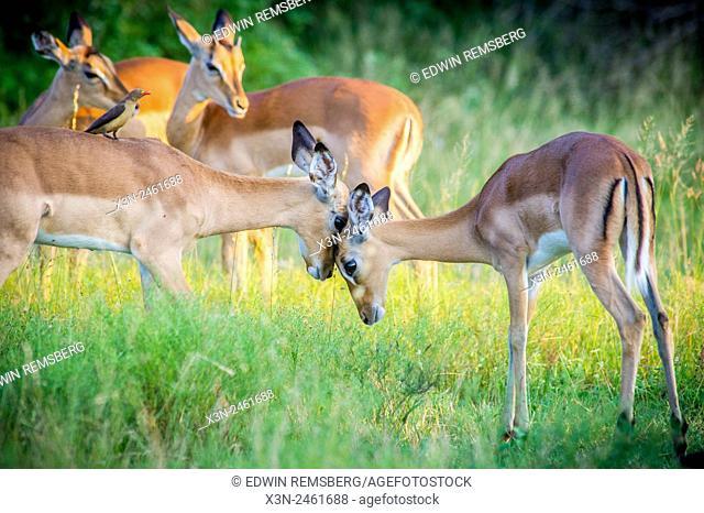 SOUTH AFRICA- Kruger National Park
