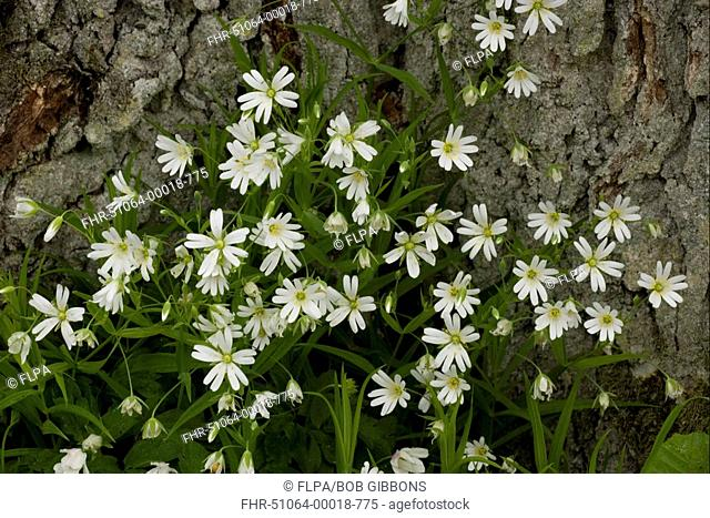 Greater Stitchwort Stellaria holostea flowering, in woodland, spring