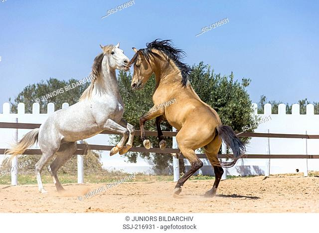 Arabian-Barb and Barb Horse. Two young stallions (gray and dun) playfighting. Tunisia