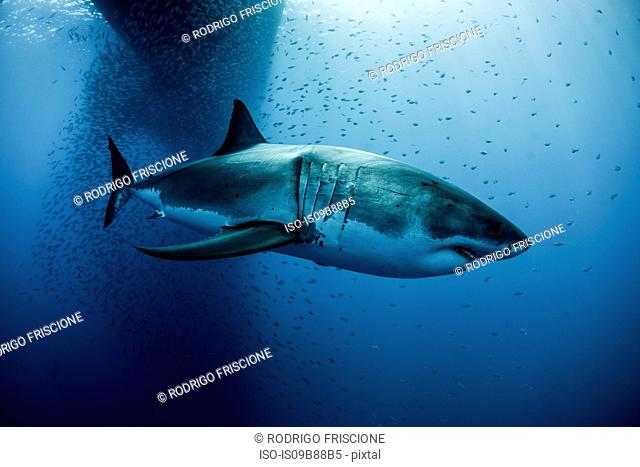 Great white shark (carcharodon megalodon) swimming under boat shadow, Guadalupe, Mexico