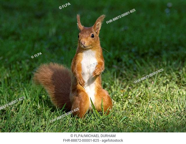Eurasian Red Squirrel (Sciurus vulgaris) adult sitting on grass alert in morning light, Dumfries and Galloway, Scotland, May