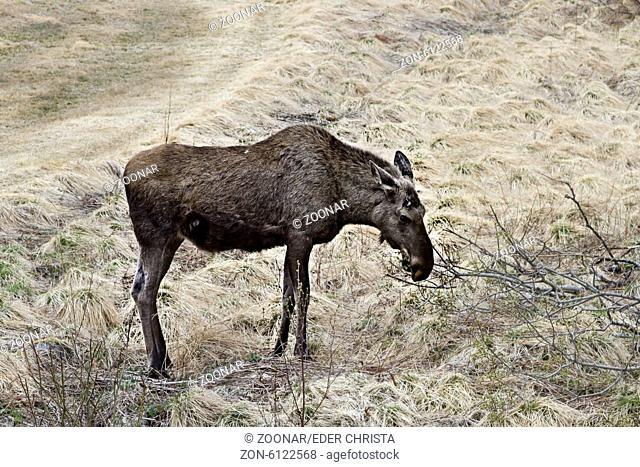 Moose in Norway
