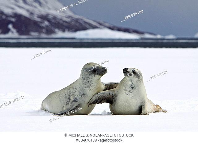 Crabeater seals Lobodon carcinophaga swimming along or hauled out on fast ice floe in Bourgeois Fjord 67°40'S 67°5'W near the Antarctic Peninsula  The Crabeater...