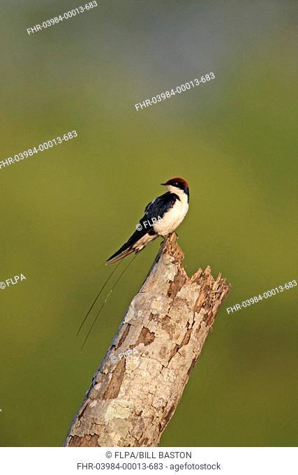 Wire-tailed Swallow Hirundo smithii adult, perched on stump, Goa, India, november