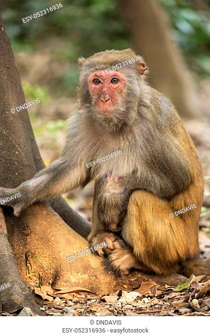 The Rhesus Macaque Macaca mulatta, is one of the best-known species of Old World monkeys. Rhesus Macaques inhabit a great variety of habitats from grasslands to...