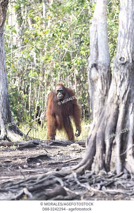 Asia, Indonesia, Borneo, Tanjung Puting National Park, Bornean orangutan (Pongo pygmaeus pygmaeus), Adult female with a baby near by the water of Sekonyer river