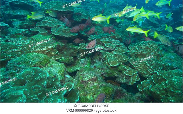 Blue and gold snappers Lutjanus viridis, goatfish and soldierfish currently unidentified over reef. Costa Rica