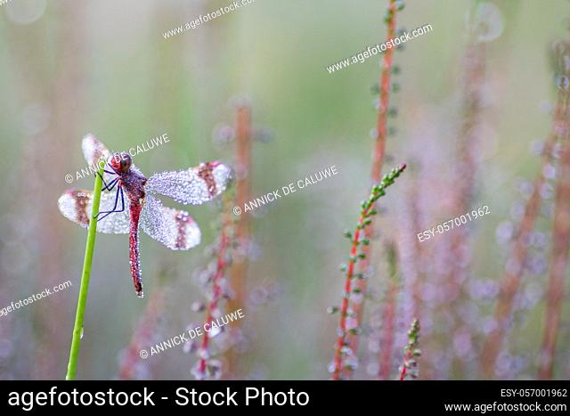Dragonfly in close up (sympetrum Pedemonatum) natural environment
