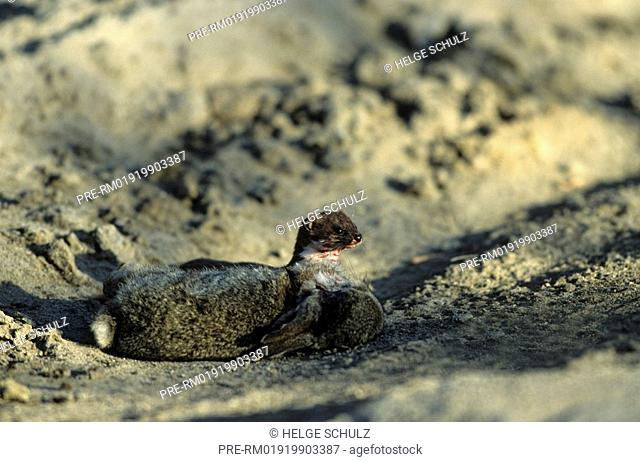 Least Weasel with rabbit prey, Mustela nivalis & Oryctolagus cuniculus