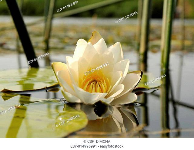 Nymphaea alba (White Waterlily)