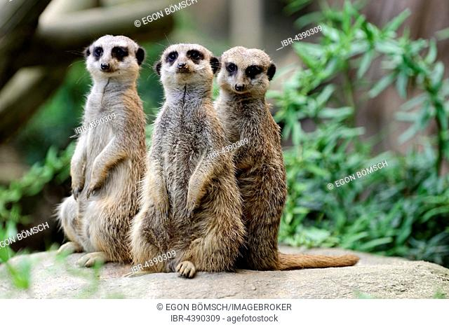 Three Meerkats (Suricata suricatta), standing attentively, Occurrence Africa, captive