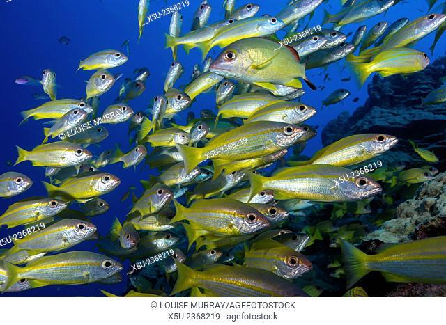 Schooling Yellow-striped Goatfish (Mulloidichthys vanicolensis). Great Barrier Reef, Queensland, Australia