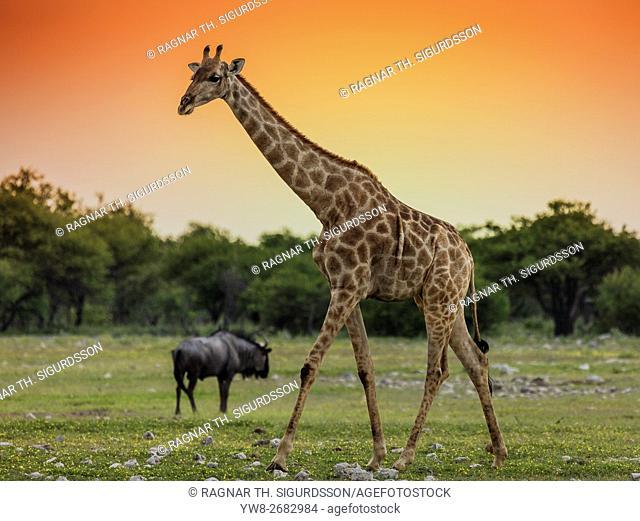 Giraffe and Blue Wildebeest, Etosha National Park, Namibia, Africa