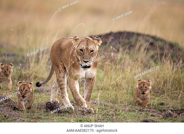 Lioness walking with playful 2-3 month old cubs (Panthera leo). Maasai Mara National Reserve, Kenya. September 2009