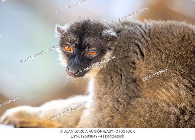 Portrait of Common brown lemur half-asleep