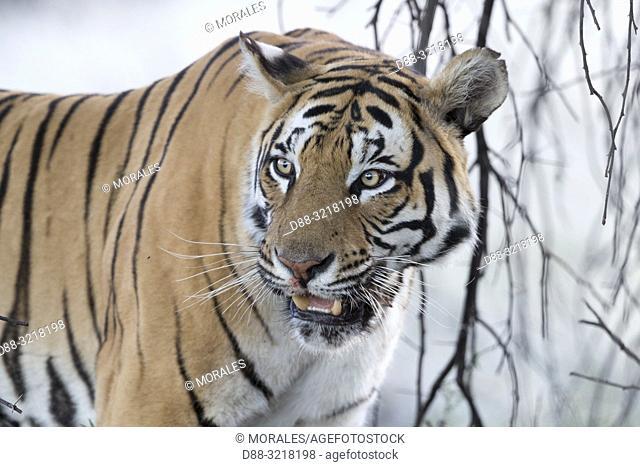 Afrique du Sud, Réserve privée, Tigre du Bengale (Panthera tigris tigris), au repos / South Africa, Private reserve, Asian (Bengal) Tiger (Panthera tigris...