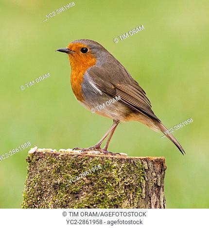 A Robin on a bird feeder (Erithacus rubecula) in the uk