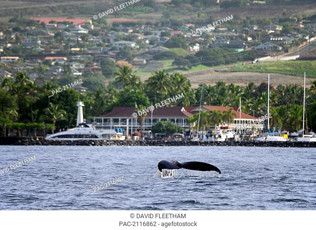 Hawaii, West Maui, Two Humpback Whales (Megaptera Novaeangliae) Fluking Its Tail In Front Of Lahaina Harbor And Pioneer Inn