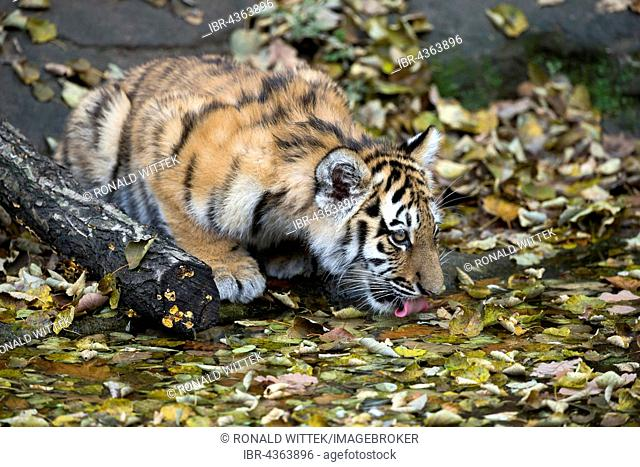 Siberian tiger, Amur tiger (Panthera tigris altaica) drinking, young animal, captive