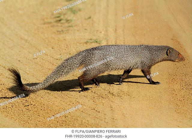 Ruddy Mongoose (Herpestes smithii zeylandicus) adult, walking across dirt track, Udalawawe N.P., Sri Lanka, February