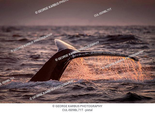 Humpback whale's tail above water surface, Andenes, Nordland, Norway