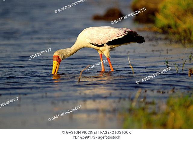 Yellow-billed Stork (Mycteria ibis) - Hunting in the river. Chobe National Park, Botswana