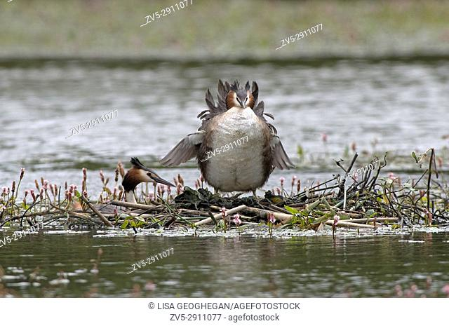 Great Crested Grebes-Podiceps cristatus on nest. Uk