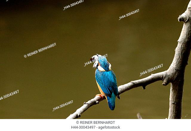 Kingfisher, kingfishers, Rackenvögel, birds, Kingfisher, Alcedo atthis, iron wedge, flying diamond