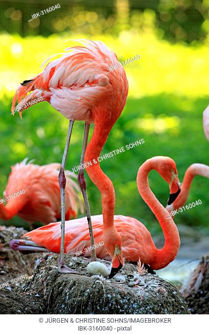 Red Flamingoes or Cuban Flamingoes (Phoenicopterus ruber ruber), adult, brooding, on nests, native to South America, captive, Heidelberg, Baden-Württemberg