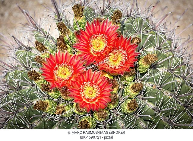 Red flowering Fishhook Barrel Cactus (Ferocactus wislizeni), Tucson, Arizona, USA