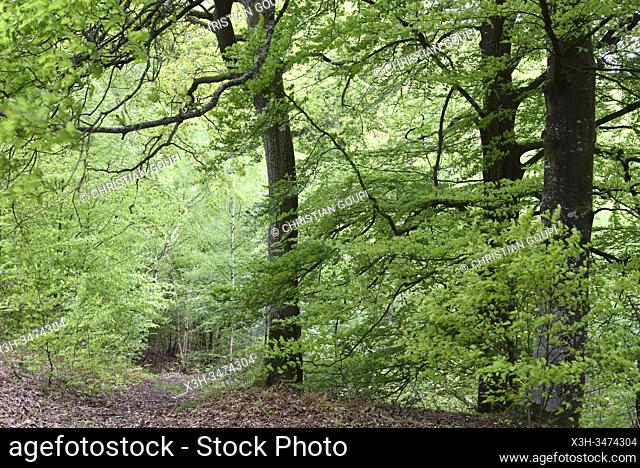 hetres, foret de Rambouillet, departement des Yvelines, region Ile de France, France, Europe/ beech trees, forest of Rambouillet, Yvelines department