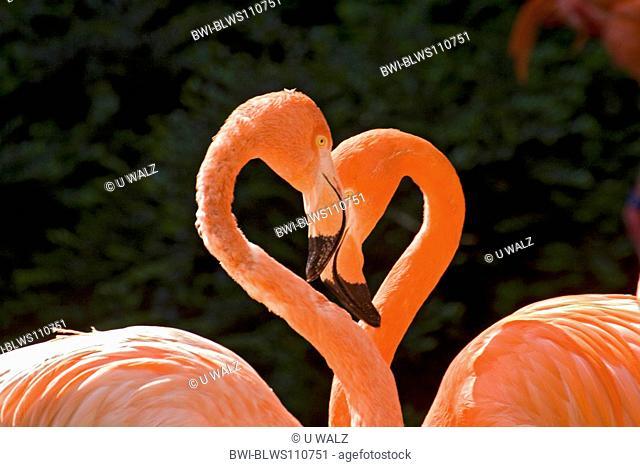 Greater flamingo, American flamingo Phoenicopterus ruber ruber, portrait of two individuals