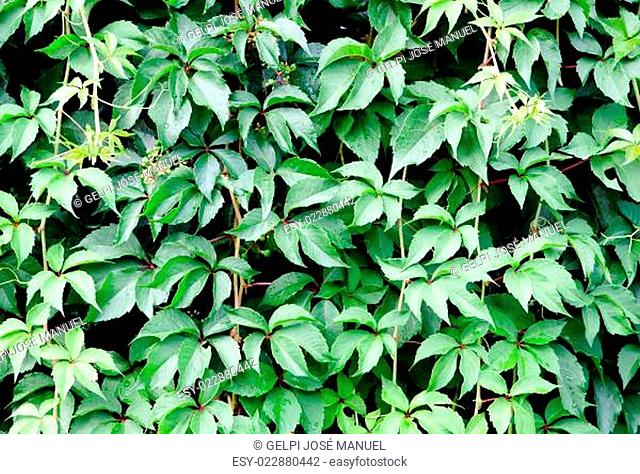 Leafy plant for wallpaper