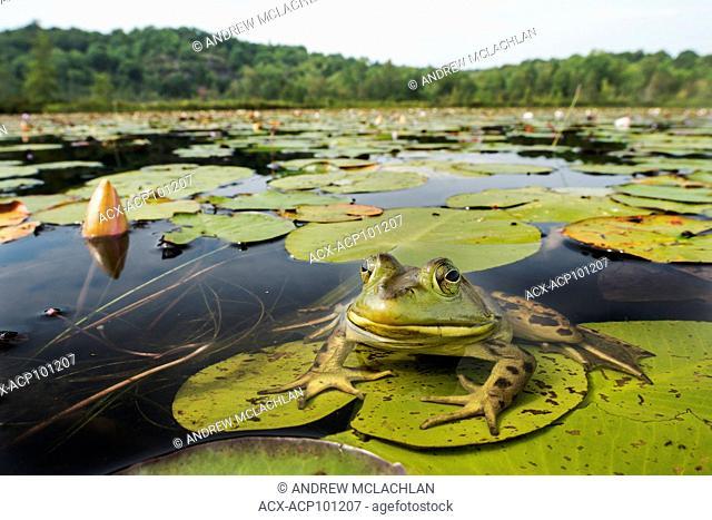 Bullfrog (rana catesbeiana) in wetland on Horseshoe Lake in Muskoka near Parry Sound, Ontario, Canada