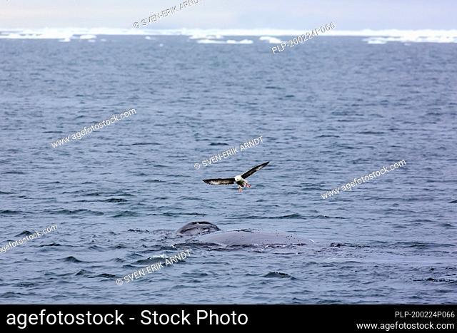 Northern fulmar (Fulmarus glacialis) hovering above bowhead whale (Balaena mysticetus) surfacing the Arctic Ocean, Svalbard / Spitsbergen, Norway