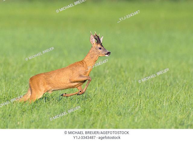 Jumping Western Roe Deer (Capreolus capreolus), Roebuck, Summer, Hesse, Germany, Europe