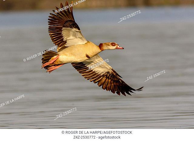 Egyptian goose (Alopochen aegyptiaca). Lake Naivasha. Naivasha. Great Rift Valley. Kenya