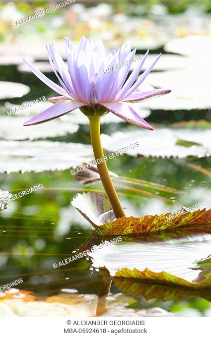 Water lily Leopardess (Nymphaea hybrid, Nymphaeaceae)