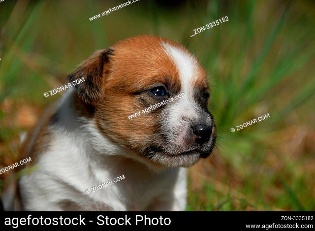 very young puppy purebred jack russel terrier