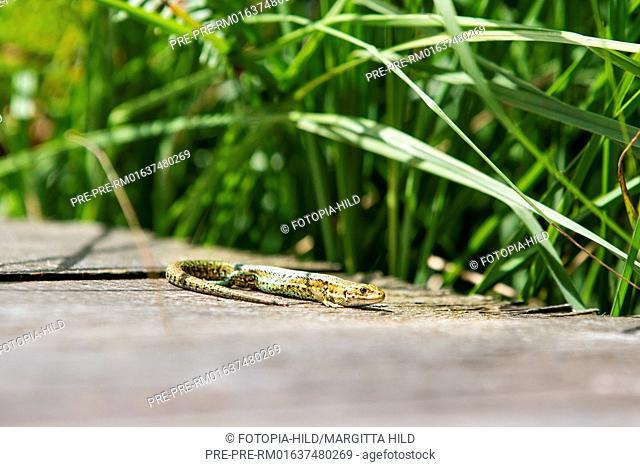 Viviparous lizards (Zootoca vivipara) at Hühnerfeld nature reserve, Kaufunger Wald, Göttingen district, Lower Saxony, Germany / Waldeidechse (Zootoca vivipara)...