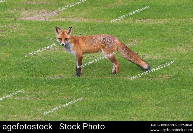 01 September 2021, Berlin: A red fox stands on the lawn of the garden of Bellevue Palace, the official residence of the Federal President