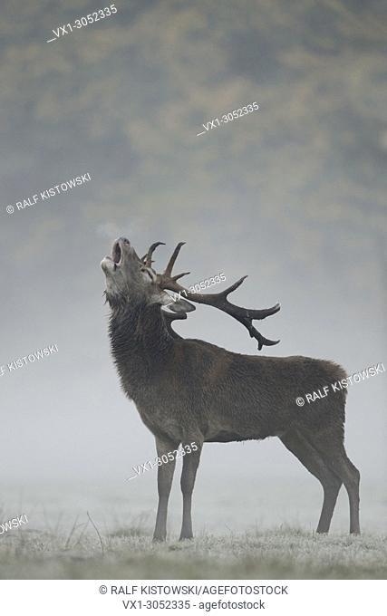 Red Deer (Cervus elaphus), stag, roaring in autumnal morning fog