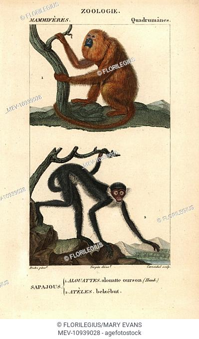 Red howler monkey, Alouatta seniculus, and white-fronted spider monkey, Ateles belzebuth. Handcolored copperplate stipple engraving from Frederic Cuvier's...